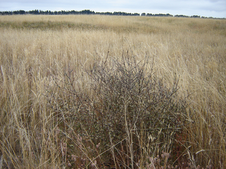 Can habitat restoration save endangered shrub?